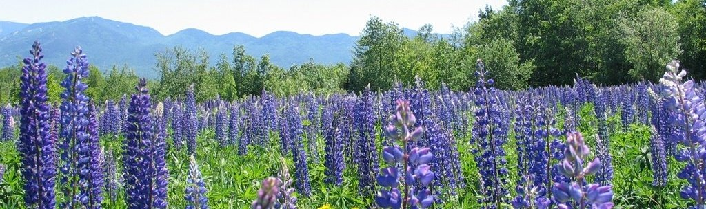 white mountains lupines-150000-edited