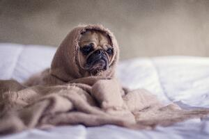 keep your pug warm this winter